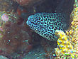 Sealife Giant Spotted Moray Hiding Amongst Coral Reef On The Ocean Floor, Bali stock photography