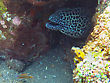 Giant Spotted Moray Hiding Amongst Coral Reef On The Ocean Floor, Bali stock photography