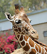 Giraffe At The Zoo, Head Close-ups stock photography