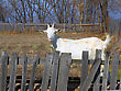 Goat For A Wooden Fence stock photo