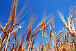 Gold Ears Of Wheat Under Deep Blue Sky stock image