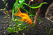 Gold Fish In Aquarium stock image