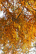 Golden Autumn Tree Brunches, Sunny Day stock photo