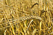 Cornfield Golden Ear Of Rye On The Background Field stock image