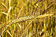 Cornfield Golden Ear Of Wheat Against The Background To Other Ears stock photo