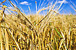 Cornfield Golden Ears Of Corn stock photo