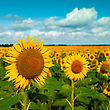 Golden Flowers, Optimistic Summer Landscape For Your Design stock image