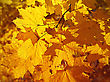 Golden Foliage Of Bright Autumn Maple stock photography