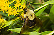 Golden Northern Bumblebee Resting On A Yellow Flower stock photo