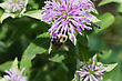 Golden Northern Bumblebee And A Small Bee Fighting It Out For Position stock photo