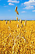Golden Stalk Of Oats On The Background Fields, Clouds And Blue Sky