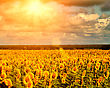 Golden Summer Sun Over The Sunflower Fields, Natural Landscape stock image