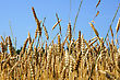 Grain Ready For Harvest Growing In A Farm Field stock photography
