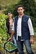 Grape Picking stock photography