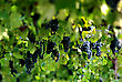 Grapes At Vineyard And Green Leaves At Sunny Summer Day stock photo