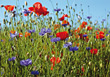 Landscapes Grass and Poppy Flowers stock photo