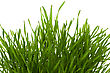 Detailed Grass Isolated On White Background stock photography