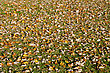 Grass Lawn Covered With Fallen Maple Leaves stock photography