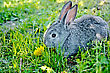Gray Rabbit With A Dandelion On A Background Of Green Grass stock image