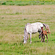 Grazing White Horse With His Bay Colt On Green Grass