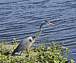 Great Blue Heron (Ardea Herodias) Feeding stock photo