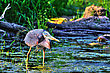 Great Blue Heron Fishing In The Moring In High Dynamic Range Hdr stock photography