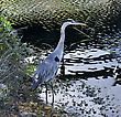 Great Blue Heron Hunting In A Wetland stock photography