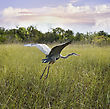 Great Blue Heron In Flight Over Wetland stock image