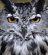 Great Horned Owl (Bubo Virginianus) Portrait stock image