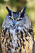 Great Horned Owl , Close Up stock photo