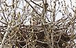 Great Horned Owl In Nest Saskatchewan Canada