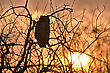Great Horned Owl At Sunset Saskatchewan Canada stock photo