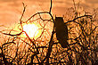 Great Horned Owl At Sunset Saskatchewan Canada
