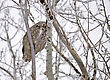 Beak Great Horned Owl In Tree Saskatchewan Canada stock photo