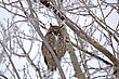 Great Horned Owl In Tree Saskatchewan Canada