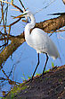 Great White Egret Perched On A Downed Tree stock image