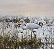 Great White Egret Walking In The Pond At Sunset stock photo