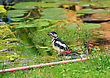 Greater Spotted Woodpecker taking a drink from a garden pond in England stock image