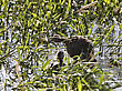 Grebe At Nest With Babies In Saskatchewan Canada