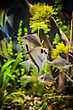 Decorative Green Beautiful Planted Tropical Freshwater Aquarium With Fish Pterophyllum Scalare stock photo