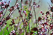 Green Chameleon Swinging On A Branch Of Blossoming Plum Tree stock image