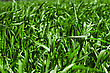 Aristocratic Green Grass Background stock image