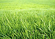 Green Grass Background. The Wallpaper stock photo