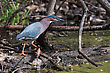 Green Heron (Butorides Virescens) Stalking Its Prey In A Pond stock photography