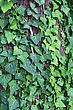 green ivy background stock image