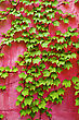 Green Ivy On Pink Wall Background stock image