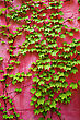 Green Ivy On Pink Wall Background stock photography