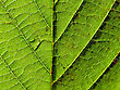 Descriptive Green Leaf stock photography