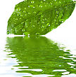 Green Leave At The Water With Reflection stock image