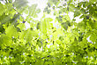 Green Leaves And Sun Ray stock image